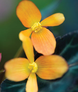 Begonia, Sparks Will Fly , , large